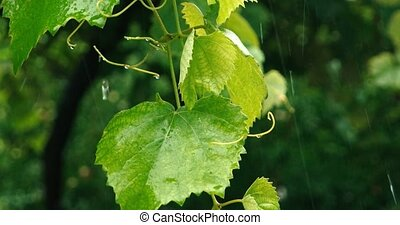 Green Grape Leaves With Water Flow Down, Rainy Day Scene