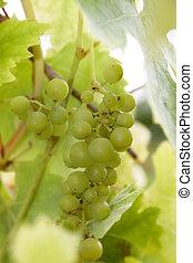 green grapes 2