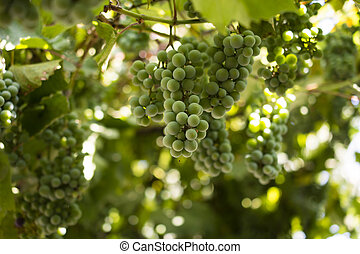 Green grapes against the sky