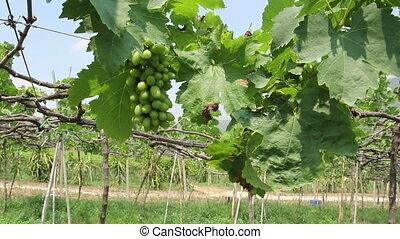 Green grapes farm