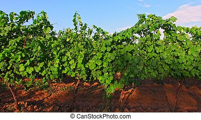 Green grapes grows on branches - The drone fly between grape...