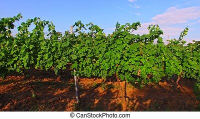 Green grapes grows on branches - The drone fly between...