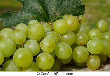 Green grapes in autumn