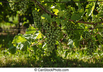 green grapes in spring vineyard