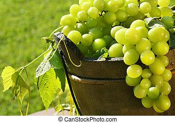 Green grapes in the sun - Green grapes in the summer sun