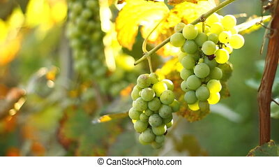 Green grapes in the vineyard