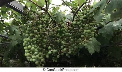 Green grapes on a branch in the wind In slow motion