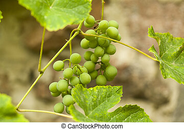 Green grapes on a stone wall background.