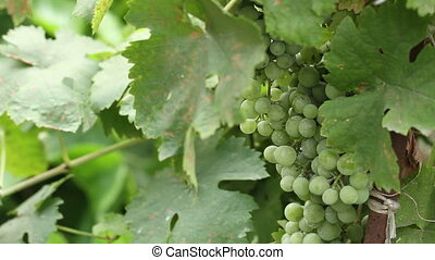 Green grapes on the vine sway.