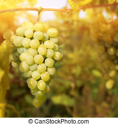 Green grapes on vine, shallow depth of field