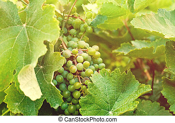 Green grapes, vine and leaves background