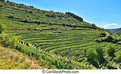 green grapes, vinery landscape and blue sky