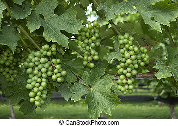 Grapes Vines Wine Vineyard - Green Grapes Vines Wine...