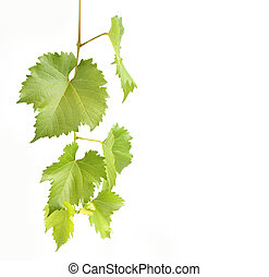 green grapevine leaves