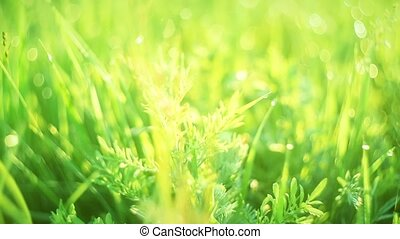 Green grass and drops of morning dew - Camera slow...