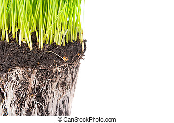 Green grass and soil from a pot with plant roots isolated on...