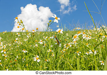 Green grass and White Daisies