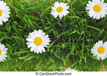 Green grass and white flowers background