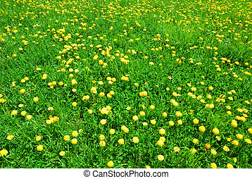 Green grass and yellow dandelion flowers in springtime
