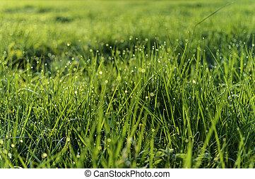 Green grass at sunrise