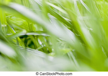 Green grass background. Grass after rain. Drops on the leaves.