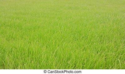 Green Grass Background - Green grass background. Soft focus