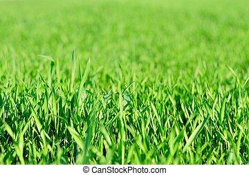 Green grass background in spring