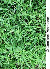 Green grass background. - Green grass background for design...