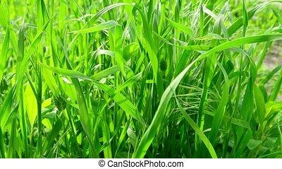 Green grass backlit by sunlight