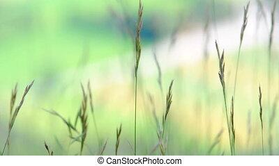 Green grass blown by the wind
