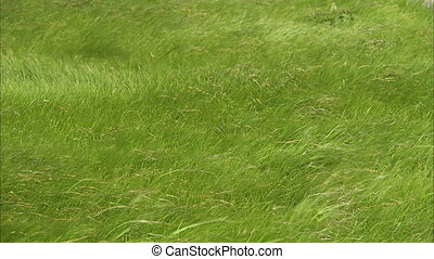 Green grass blown by winds - A steady medium shot of grass...