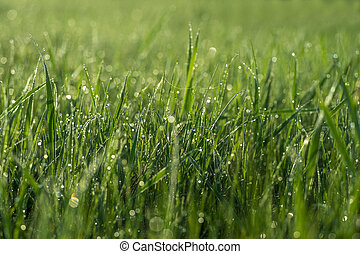 Green grass close-up with dew drops on the blurred green background of the meadow