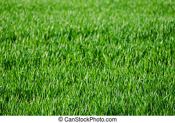Green grass field background - Green grass fields suitable ...