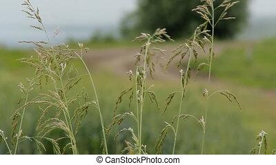 Green Grass Field Blurred - Tall grass on a blurred...