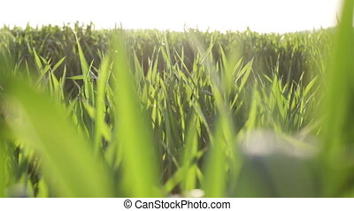 Green grass field close up against the sky in the daytime. Close up video full hd.