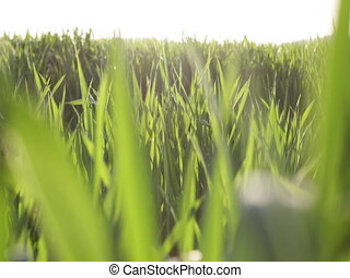 Green grass field close up against the sky in the daytime. Close up