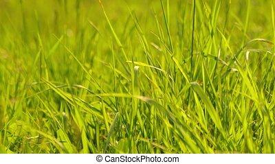 Green Grass Field - Grassblades closeup on a field