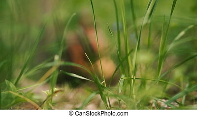 Green grass. Green grass in the background runs squirrel.