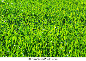 green grass     - Green grass texture from a  field