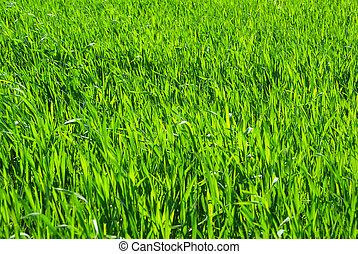 green grass     - Green grass texture from a  field