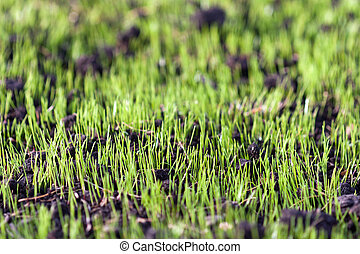 Green grass - Green nature grass plant outdoor growth...