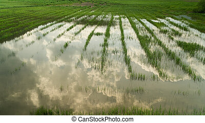 Green grass growing on a swamp area and reflection in water surface, nature background