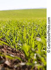green grass in a field