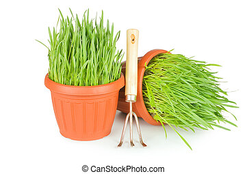 Green grass in a pot isolated on a white background