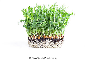 green grass in a pot isolated on white