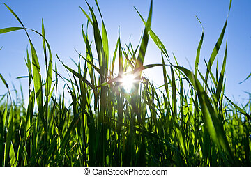 Green grass in back light with blue sky and sun in spring