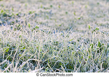 green grass in hoarfrost