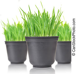 Green grass in pots. Isolated on white