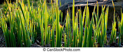 Green Grass In Spring Sunlight
