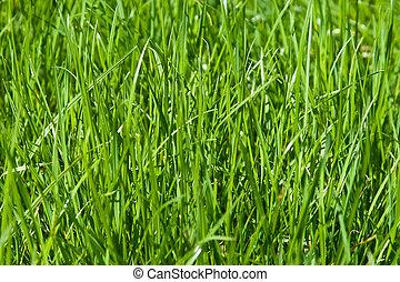 Green grass in spring